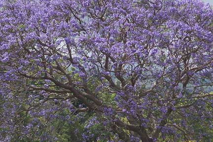 Echoes from Emptiness: Jacaranda in full bloom, NSW, Australia