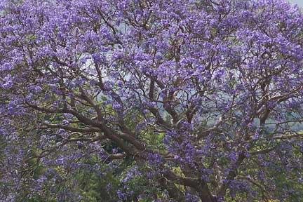 Echoes from Emptiness: Jacaranda in full bloom, NSW, Australia
