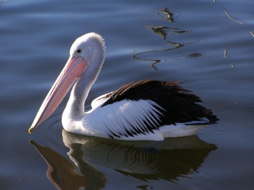 Echoes from Emptiness: Australian Pelican