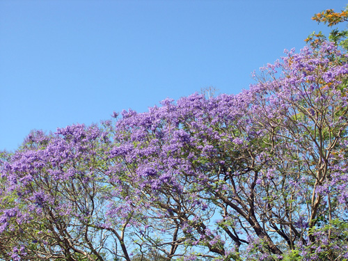 Echoes from Emptiness: Jacarandas, Kiels Mountain, Queensland
