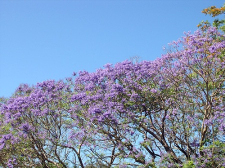 Jacarandas, Kiels Mountain, Queensland