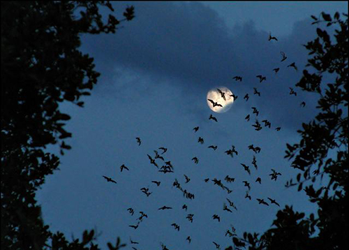 Bats flying across the full moon, NSW, Australia