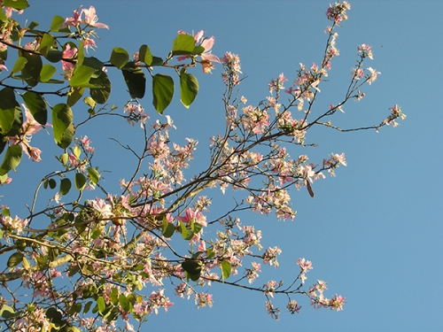 Echoes from Emptiness: Backyard Bauhinia