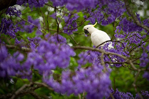 Sulphur Crested Cockatoo and Jacaranda