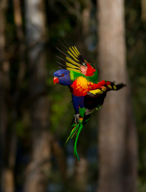 Rainbow Lorikeet hovering by Trevor Andersen